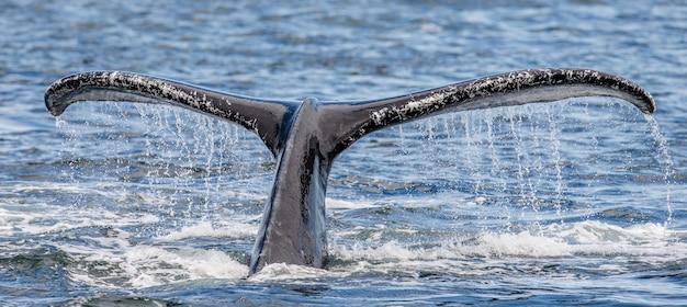 Baleia-jubarte de cauda acima do close up da superfície da água. área do estreito de chatham. alasca. eua.