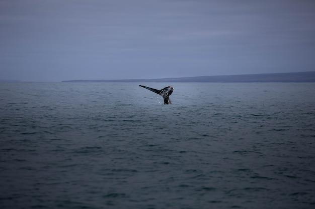 Baleia-jubarte perto de húsavík, no norte da islândia.