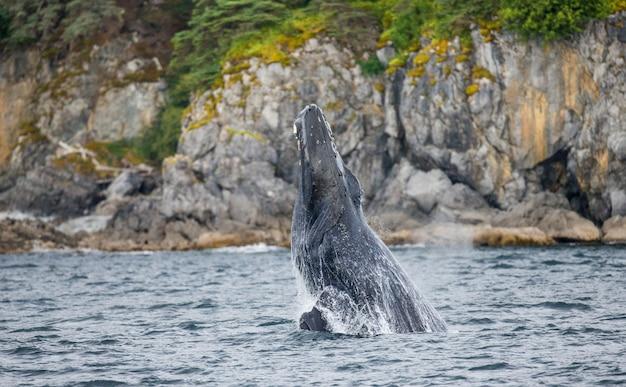 Baleia jubarte pulando. área do estreito de chatham. alasca. eua.