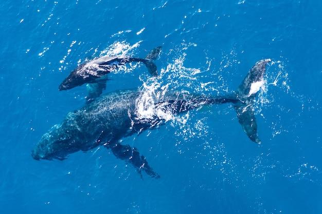 Baleias jubarte fotografadas de cima com drones aéreos na costa de kapalua, havaí