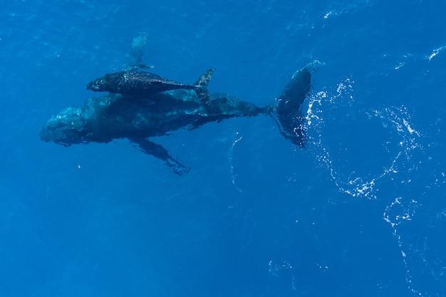 Baleias jubarte nadando, vista aérea