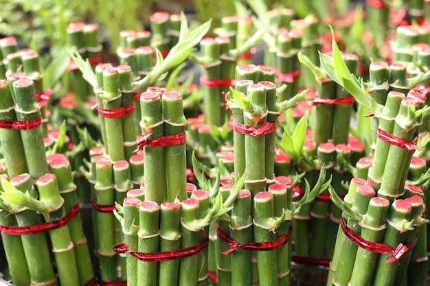 Bambu afortunado em tropical