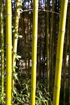 Bambu. floresta de bambus. troncos verdes de um bosque de bambu em um dia de verão