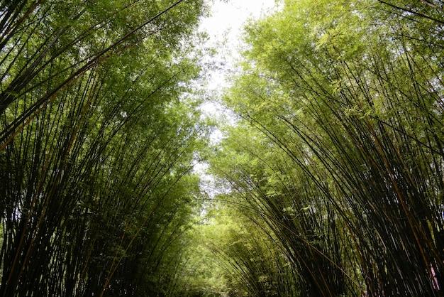 Bambu. floresta dos bambus. fundo. espaço para o seu texto