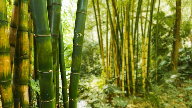 Bambu na floresta tropical