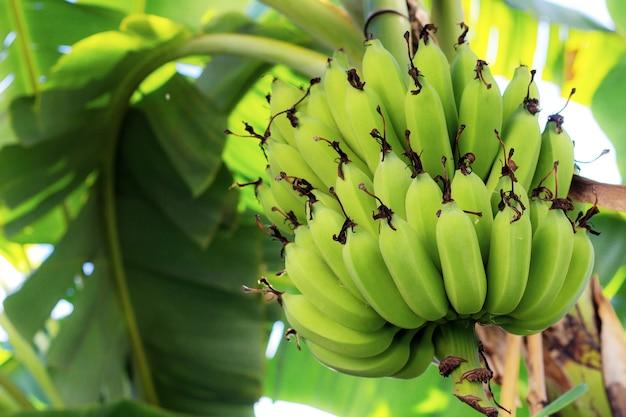 Banana crua na árvore na fazenda com a luz solar.