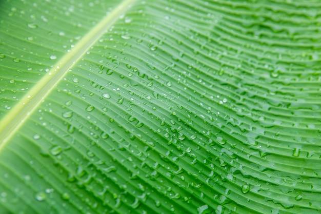 Banana folha de palmeira, fundo da natureza folha verde com gotículas de água no meio da ...