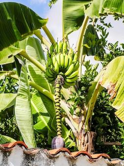 Banana verde múltipla orgânica verde na bananeira. bananeira com um cacho de bananas. brasil.