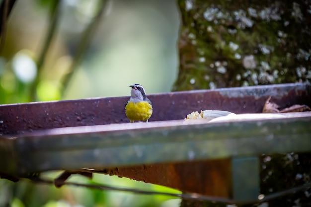 Bananaquits (coereba flaveola) aka pássaro de cambacica comendo banana no interior do brasil