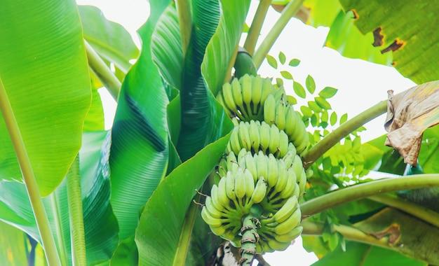 Bananas crescendo em uma palmeira.