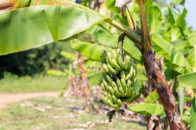 Bananas cruas na árvore