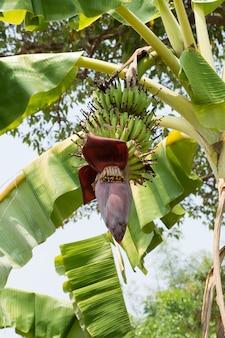 Bananeira com flor de banana