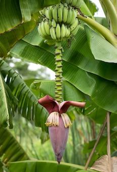 Bananeira com flor de bananeira