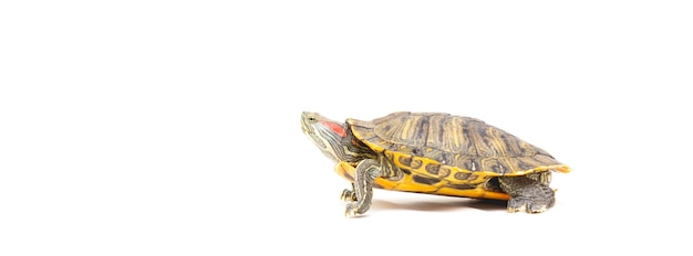 Bandeira do controle deslizante (trachemys scripta elegans) tartaruga de estimação isolada no fundo branco. copie o espaço
