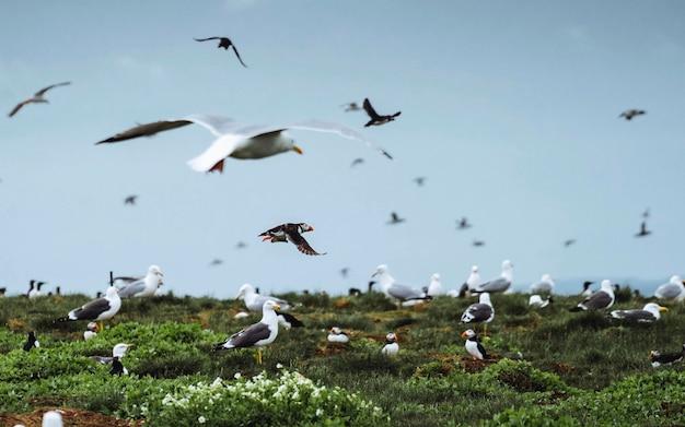 Bando de aves marinhas nas ilhas farne em northumberland, inglaterra