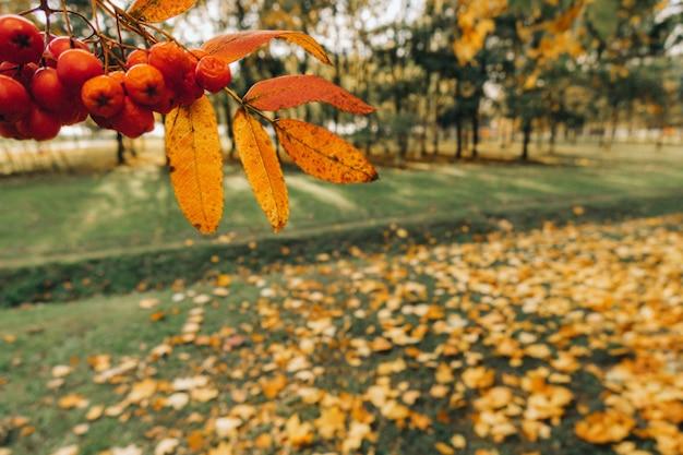 Bando de bagas de sorveira no outono fundo borrado