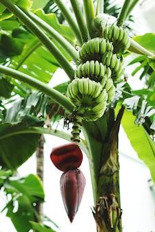 Bando de banana verde com flor na palmeira de banana