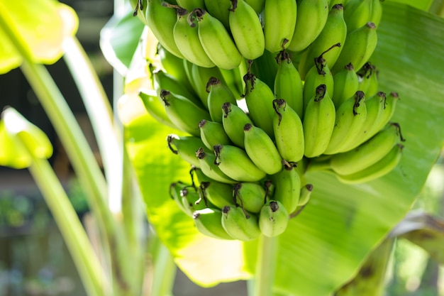 Bando de banana verde na árvore no jardim