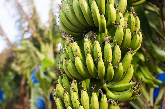 Bando de banana verde na plantação de banana.