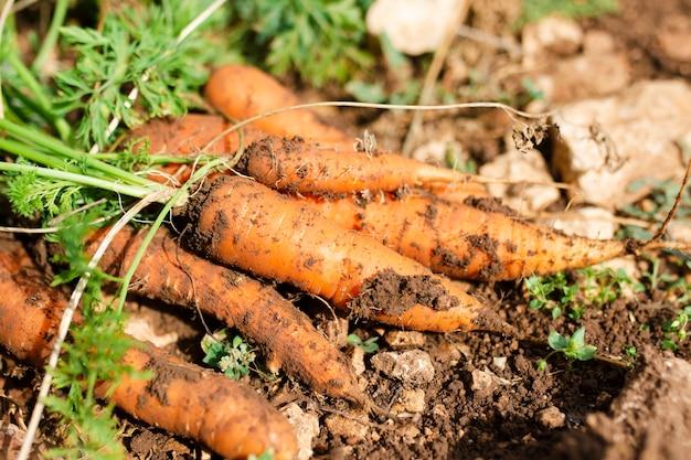 Bando de belas cenouras orgânicas