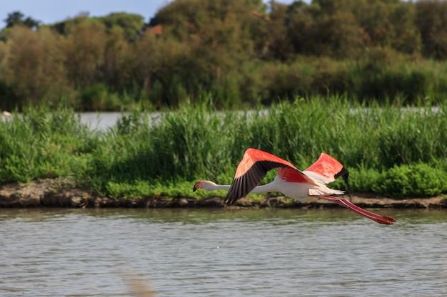 Bando de belo pássaro grande rosa flamingos voando