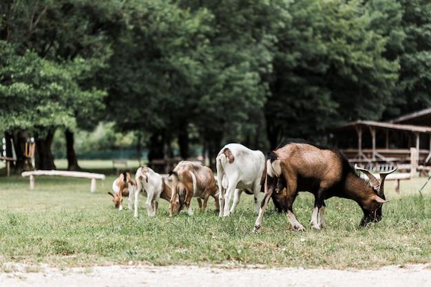 Bando de cabras pastando na grama verde