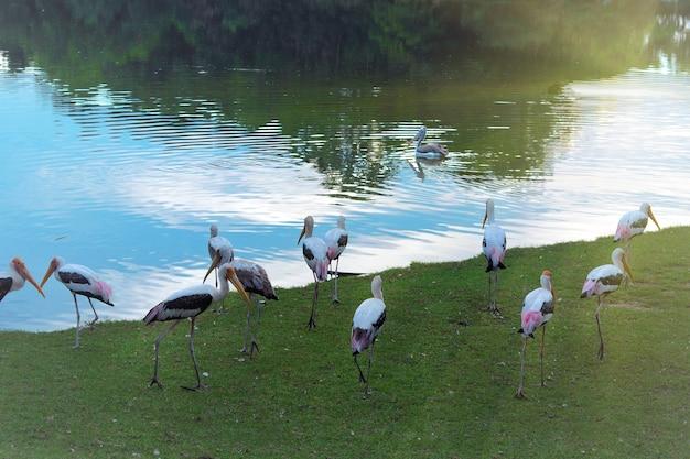 Bando de cegonha-de-bico-amarelo perto do lago, lagoa no zoológico ou reserva natural