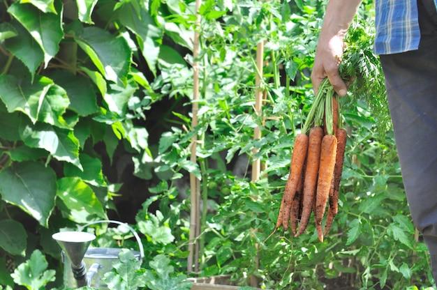 Bando de cenouras recém-colhidas, segurando por um jardineiro no jardim