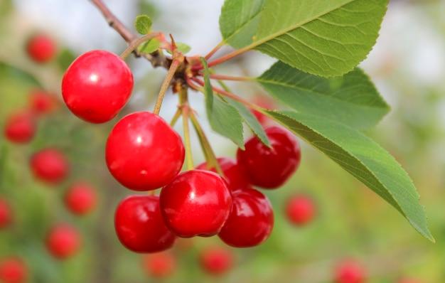 Bando de cerejas vermelhas maduras em um galho