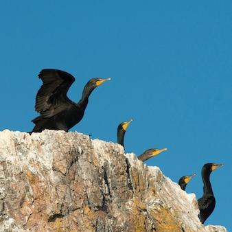 Bando, de, cormorants double-crested, em, costa, lago, de, a, madeiras, ontário, canadá
