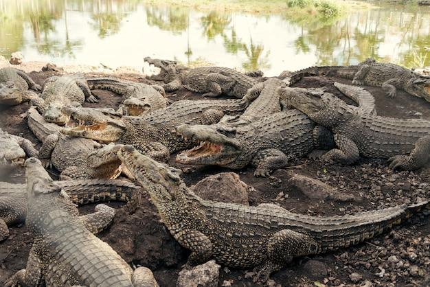 Bando de crocodilos em uma fazenda de crocodilos