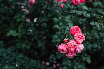 Bando de delicadas flores rosa peônia