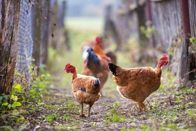Bando de duas galinhas vermelhas e galo ao ar livre em dia ensolarado na natureza rural colorida turva. cultivo de aves, carne de frango e ovos conceito.