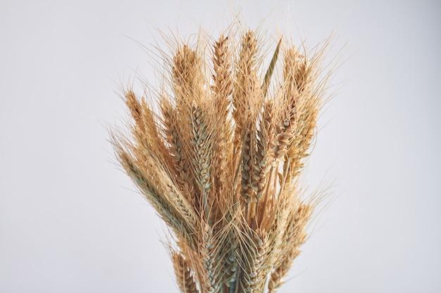 Bando de espigas de trigo orgânico isolado no fundo branco