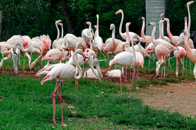 Bando de flamingo chileno no zoológico