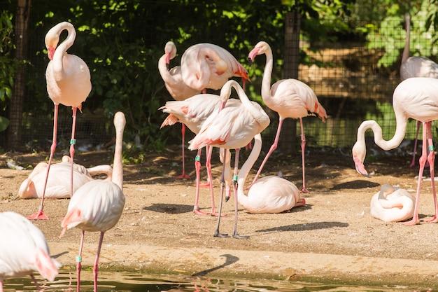 Bando de flamingo maior, belo pássaro grande rosa, animal no habitat natural
