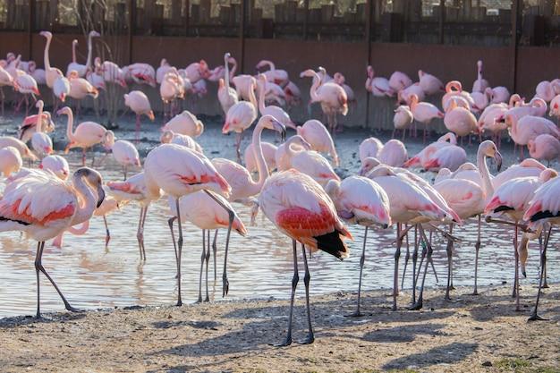 Bando de flamingos caminhando ao longo das margens de um lago em um santuário animal