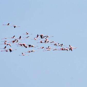 Bando de flamingos rosa da lagoa