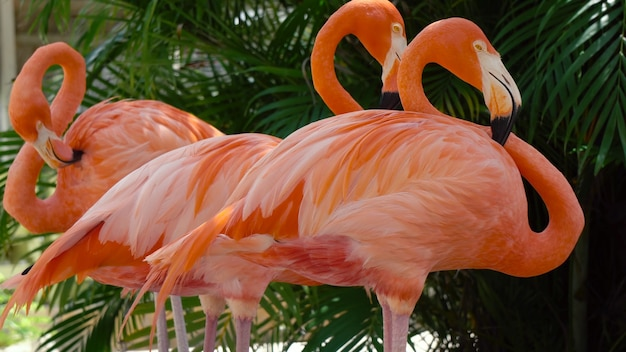 Bando de flamingos rosados do caribe, phoenicopterus ruber (flamingo do caribe)