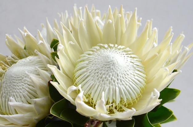 Bando de flor rei protea isolado em um fundo branco