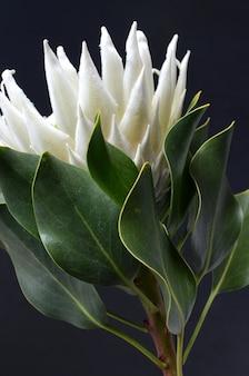 Bando de flor rei protea isolado em um fundo preto