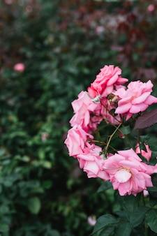 Bando de flores frescas de rosa