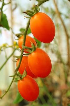 Bando de forma oval, tomates de uva vermelha vibrantes, amadurecendo em sua árvore