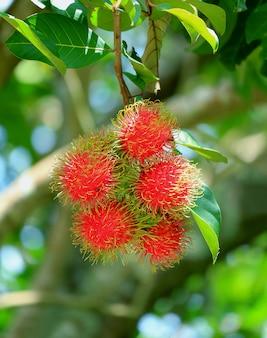 Bando de frutos de rambutan na árvore na plantação, província de rayong, tailândia