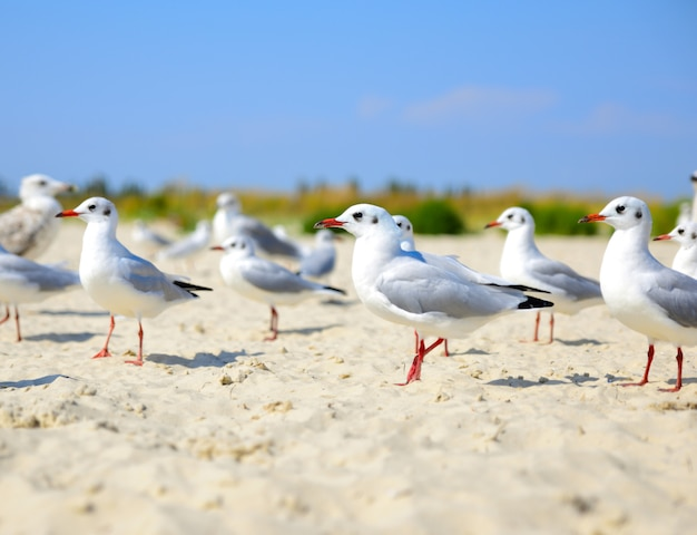 Bando de gaivotas brancas