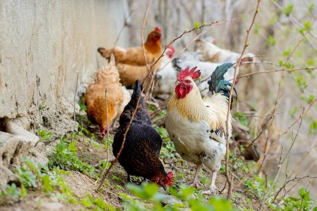 Bando de galinhas vagam livremente em um exuberante piquete verde