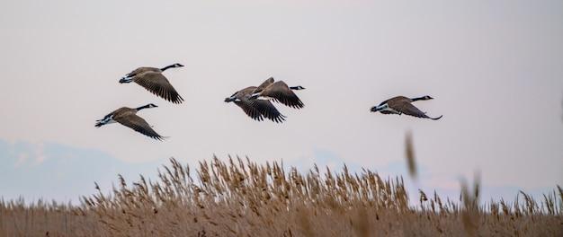 Bando de gansos canadenses voando ao redor do grande lago salgado em utah, os eua