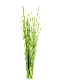 Bando de grama verde selvagem campo isolado no branco