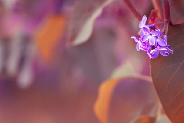 Bando de lilás no fundo desfocado natural