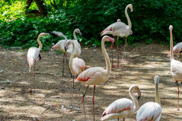 Bando de lindos flamingos cor de rosa perto do rio.